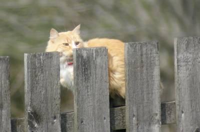 Tamkatt (Felis catus)