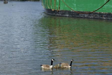 Kanadagås (Branta candénsis) och fraktbåt i Trollhätte Kanal ©NGN-foto