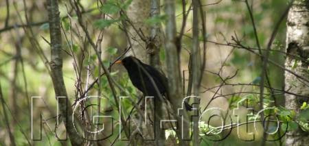 Koltrasthanne (Turdus m. mérula) ©NGN-foto