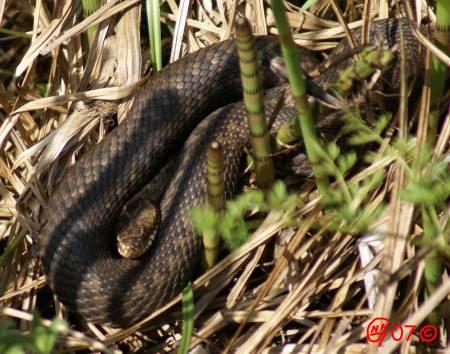 Huggorm (Vipera berus) 070526 ©NGN-foto