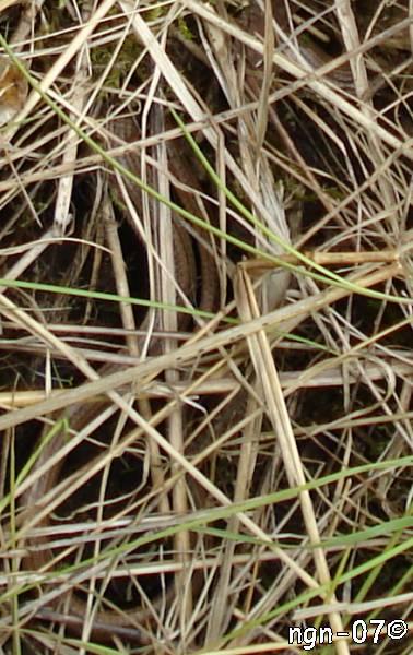 Kopparödla (Anguis fragilis) ©NGN-foto
