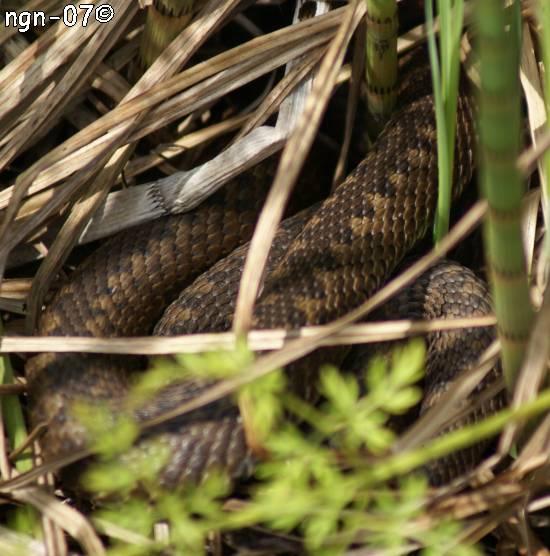 Huggorm (Vipera berus) ©NGN-foto
