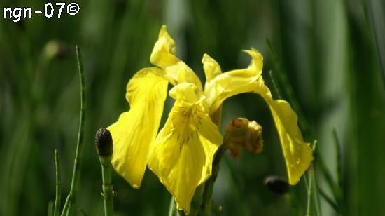 Svärdslilja (Iris pseudacorus)