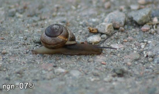 Vinbergssnäcka (Helix pomatia) ©NGN-foto