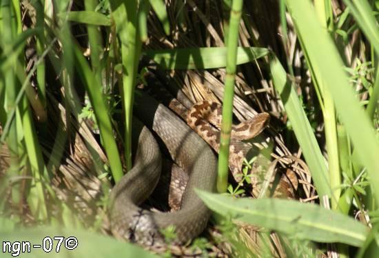 Vanlig snok (Natrix natrix) & Huggorm (Vipera berus) ©NGN-foto