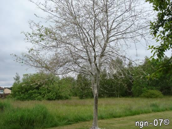 Lindmätare (Erannis defoliaria)