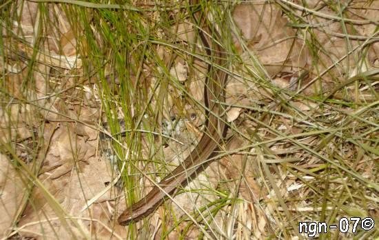 Kopparödla (Anguis fragilis)
