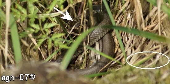 Snok (Natrix natrix)