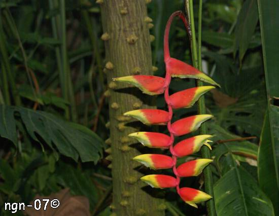 Helikonia (Heliconia rostrata) i Eden Project, England