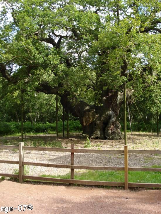 Old Oak, Sherwoodskogen, England ©NGN-foto