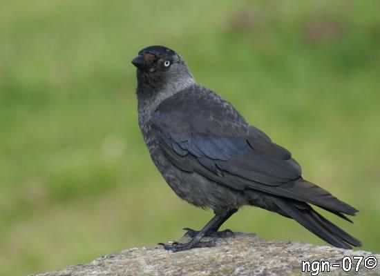 Kaja (Corvus monedula) ©NGN-foto