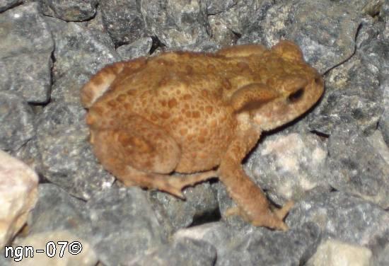 Vanlig Padda (Bufo viridis) eller Stinkpadda (Bufo calamita) ©NGN-foto
