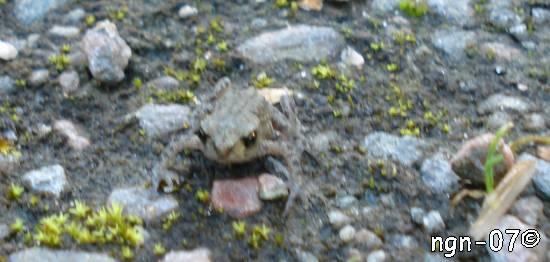 Vanlig Padda (Bufo viridis) ©NGN-foto
