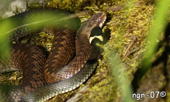 Vanlig snok (Natrix natrix) och Huggorm (Vipera berus) ©NGN-foto