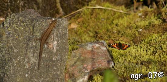 Skogsödla (Lacerta vivipara) och Nässelfjäril (Aglais articae) ©NGN-foto