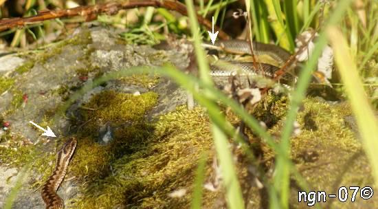 Huggorm (Vipera berus) och Vanlig snok (Natrix natrix) ©NGN-foto