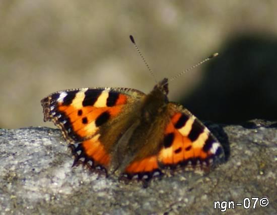 Nässelfjäril (Aglais articae) ©NGN-foto