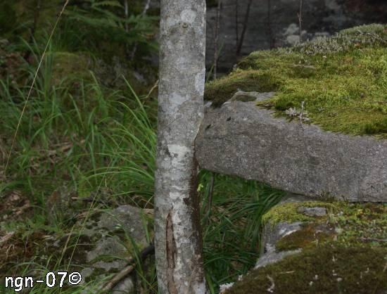 Träd-/Stenkyss ©NGN-foto