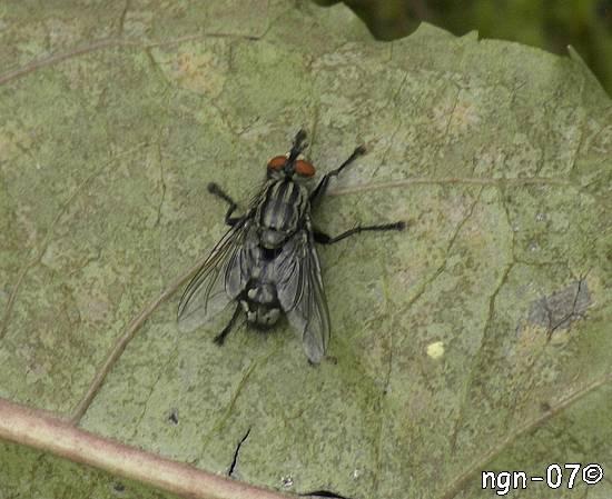Köttfluga (Sarcophaga carnaria) ©NGN-foto