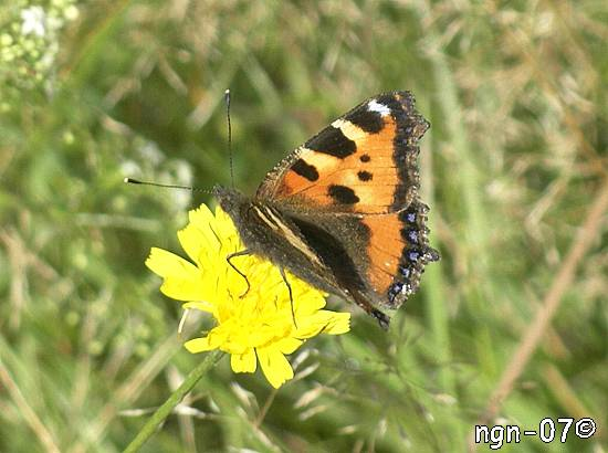 Nässelfjäril (Aglais urticae) ©NGN-foto