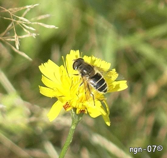 Spyfluga? (Calliphoridae) ©NGN-foto