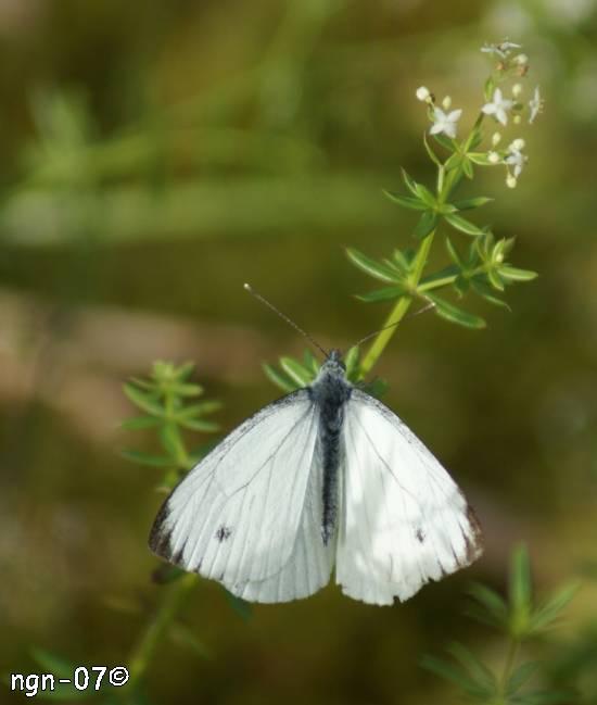 Rovfjäril (Piersis rapae) ©NGN-foto