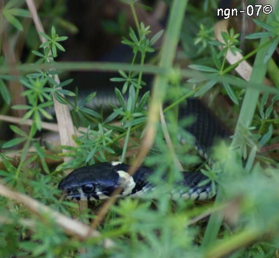 Vanlig snok (Natrix natrix) ©NGN-foto
