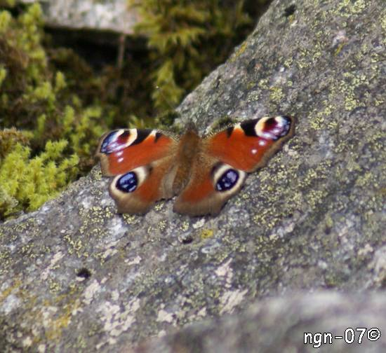 Påfågelöga (Inachis io (Nymphalis io)) ©NGN-foto