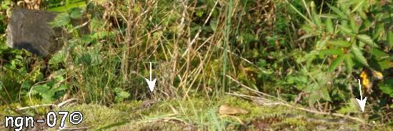 Skogsödla (Lacerta vivipara) & Vanlig snok (Natrix natrix) ©NGN-foto
