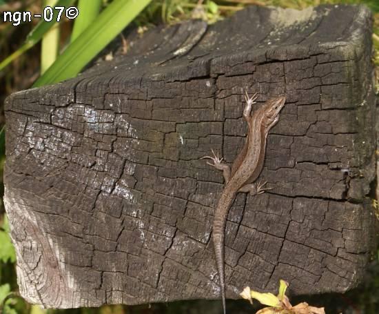 Skogsödla (Lacerta vivipara) ©NGN-foto