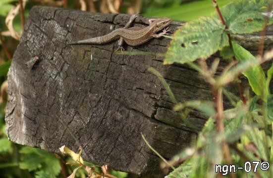 Skogsödla (Lacerta vivipara) & Köttfluga (Sarcophaga carnaria) ©NGN-foto