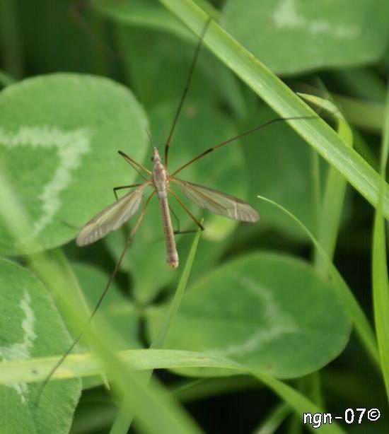 Kålharkrank (Tipula oleracea) ©NGN-foto