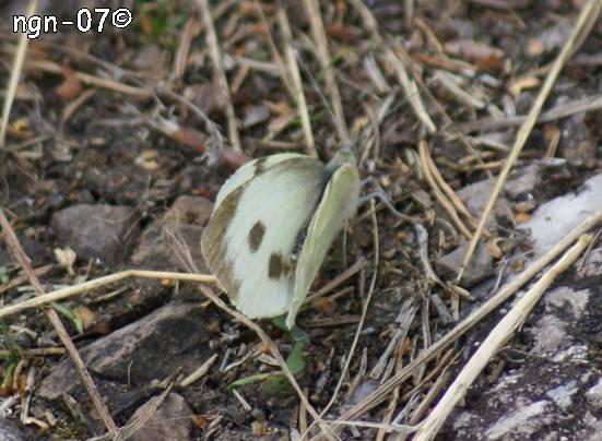 Kålfjäril (Pieris brassicae) ©NGN-foto