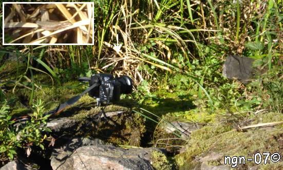 Fotografering med fjärrutlösare & Skogsödla (Lacerta vivipara) ©NGN-foto