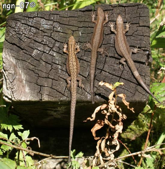 Skogsödla (Lacerta vivipara)©NGN-foto