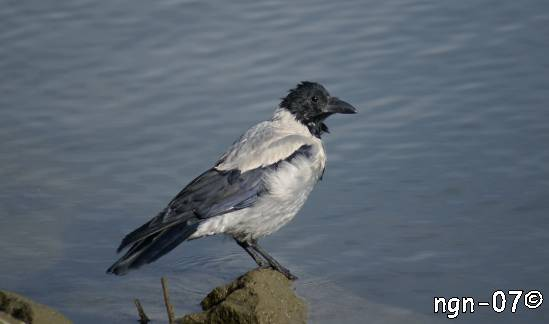 Kråka (Corvus coróne) ©NGN-foto