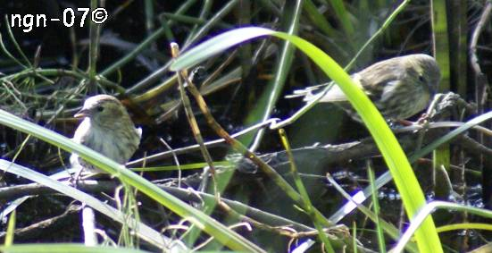 Lövsångare (Phylloscopus tróchilus) ©NGN-foto