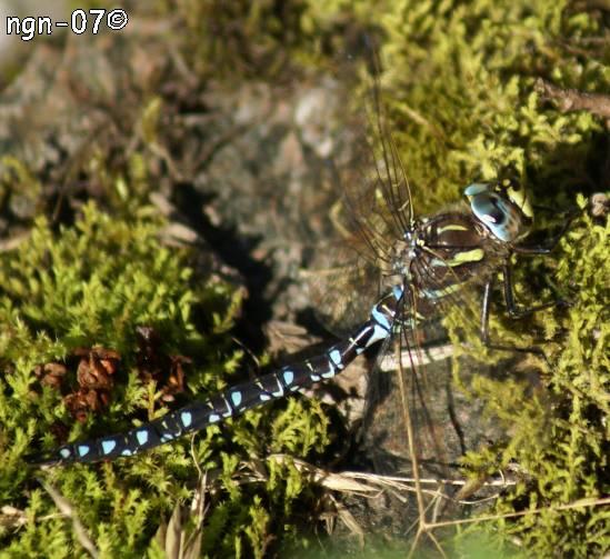 Blå Trollslända (Aeschna cyanea) ©NGN-foto