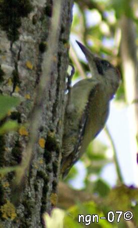 Gröngöling (Picus viridus) ©NGN-foto