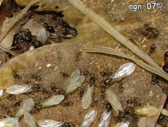 Svart Tuvmyra (Lasius niger) ©NGN-foto