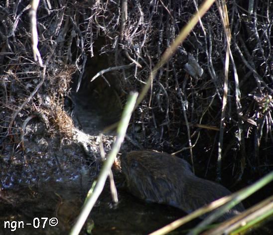 Vattensork (Arvicola terrestris)©NGN-foto
