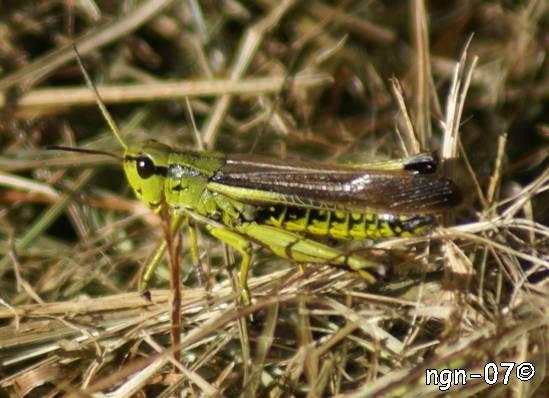 Grön ängsgräshoppa (Omocestus viridulus) ©NGN-foto