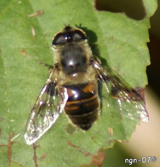 Bilik slamfluga (Eristalis tenax) ©NGN-foto