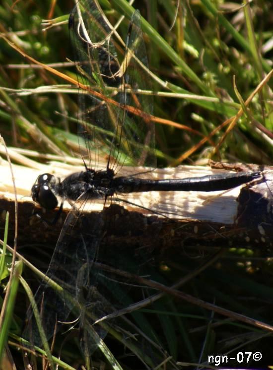 Svart ängstrollslända (Sympetrum danae) ©NGN-foto