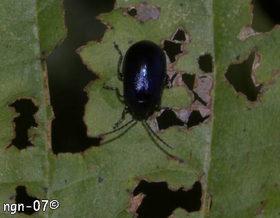 Bladbagge (Chrysomelidae) ©NGN-foto