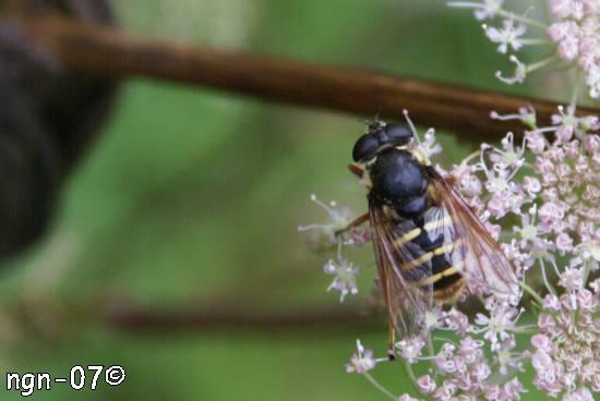 Ljungtorvblomfluga (Sericomyia silentis) ©NGN-foto