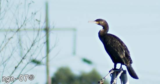 Sittande storskarv (Phalacrócorax c. carbo) ©NGN-foto