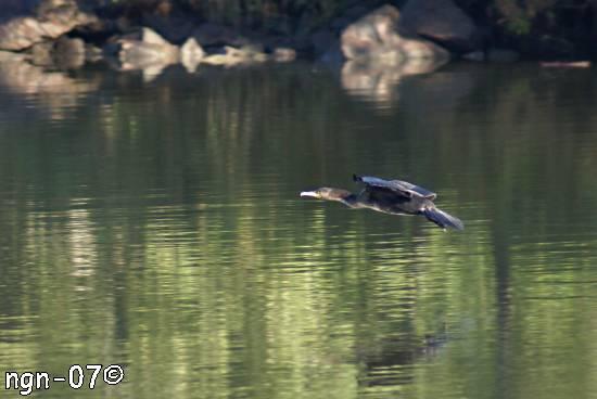 Flygande storskarv (Phalacrócorax c. carbo) ©NGN-foto