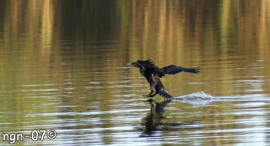 Landande storskarv (Phalacrócorax c. carbo) ©NGN-foto