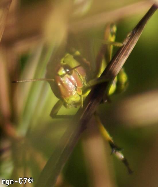 Kärrgräshoppa (Mecostethus grossus) ©NGN-foto